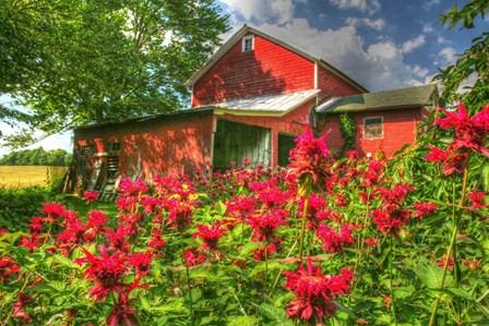 Monarda And Red Barn by Robert Goldwitz art print