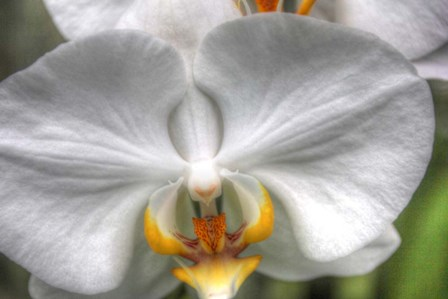 Orchid Detail by Robert Goldwitz art print