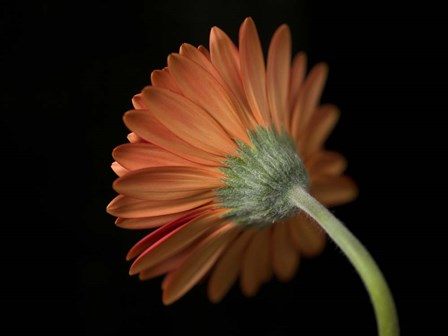 Gerbera by Assaf Frank art print