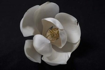 Magnolia by Wiff Harmer art print